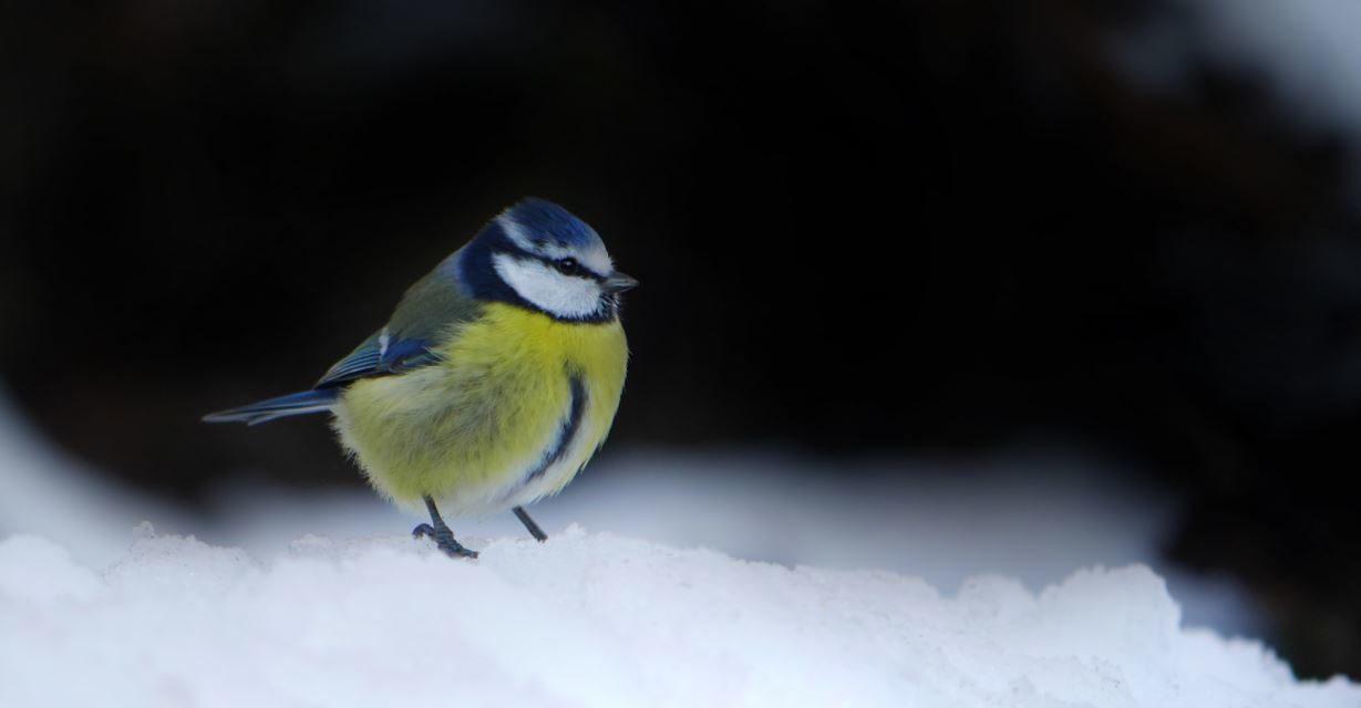 Stunde der Wintervögel 8. bis 10. Januar 2021